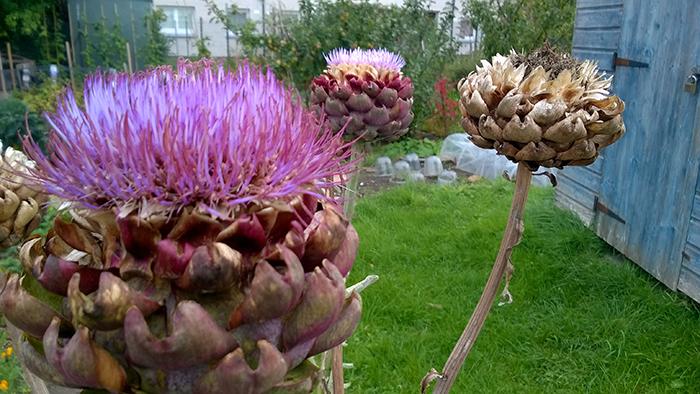 pink-artichoke-head