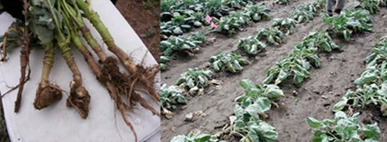 Clubroot affected brassicas